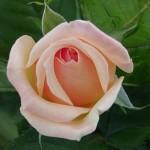 Rosen sterben